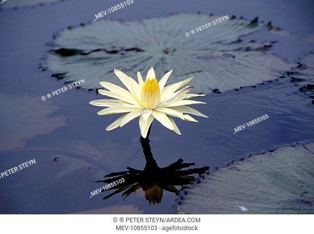 NIGHT WATERLILY (Nymphaea lotus). Okavango, Africa