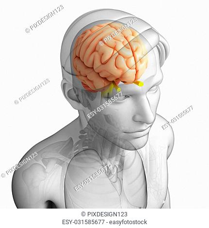 pineal gland (Page 2)   Age Fotostock America Inc    age
