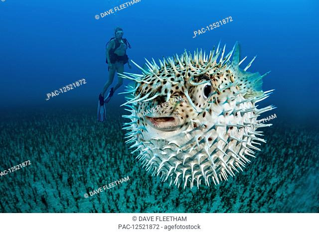 Diver and a Spotted porcupinefish (Diodon hystrix); Hawaii, United States of America