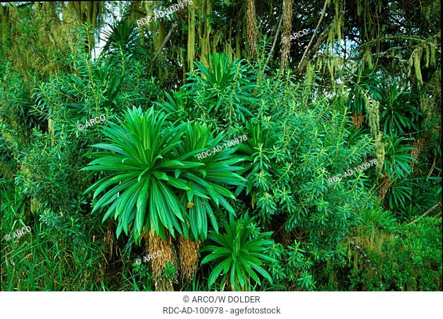 Mountain rain forest with Lobelia and Lichen Aberdares Mountains Kenya