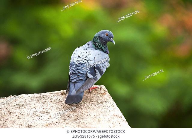 Feral pigeon, Columba livia domestica, Kothrud, Pune district, Maharashtra, India