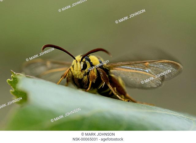 Hornet Clearwing (Sesia apiformis) using wing motion to warm up, England, Rutland
