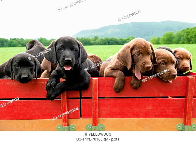 Labrador retriever puppies in a wagon