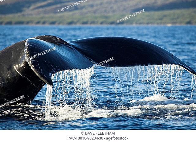 Hawaii, Maui, Humpback Whale Megaptera novaeangliae tail fluke off shore