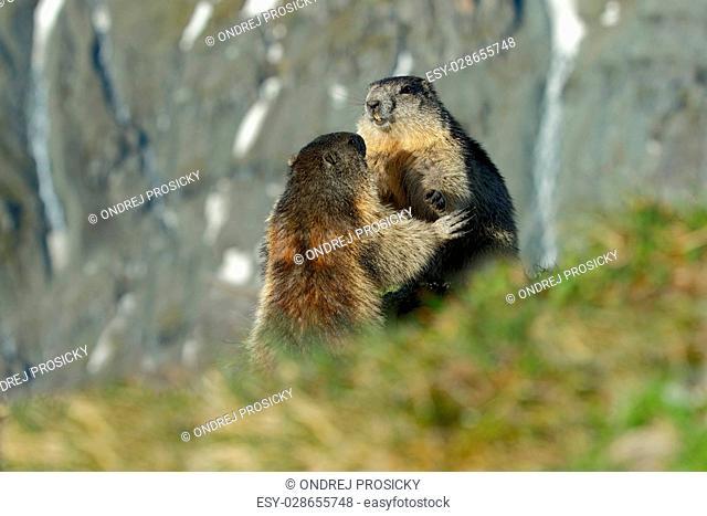 Fighting animals Marmot, Marmota marmota, in the grass