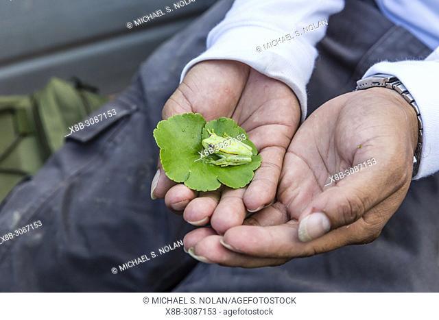 A captured common polkadot treefrog, Hyla punctata, El Dorado Caño, Loreto, Peru