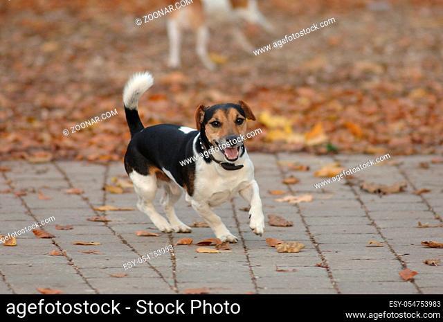 Jack Russel-Terrier, Ruede auf Steinweg im Laub