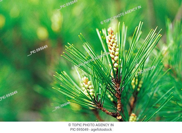 Cloes-up Of Pine Needles,Korea