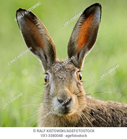 Brown Hare / European Hare / Feldhase ( Lepus europaeus ) watching surprised, funny close up, detailed frontal view, wildlife, Europe