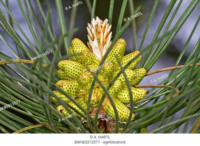European black pine, Austrian pine, Black Pine, Corsican Pine (Pinus nigra), male inflorescence, Germany