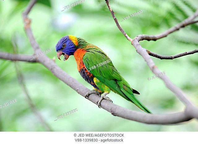 Rainbow Lorikeet (Trichoglossus haematodus), Jurong Bird Park, Singapore