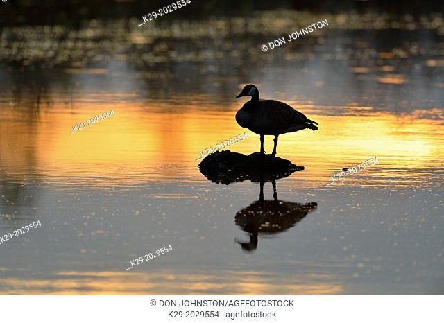Canada goose (Branta Canadensis) Loafing in beaver pond at dawn, Greater Sudbury , Ontario, Canada
