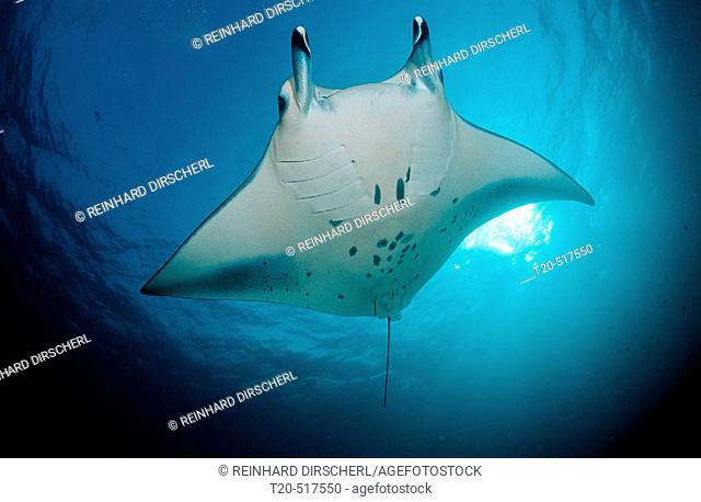Manta ray, Manta birostris. Indian ocean, Ari Atoll. Madivaru. Maldives Islands