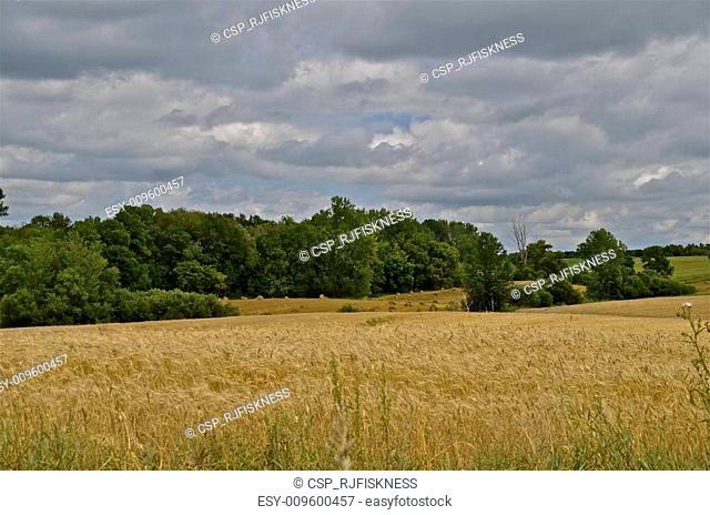 Ripe wheat field with shocks