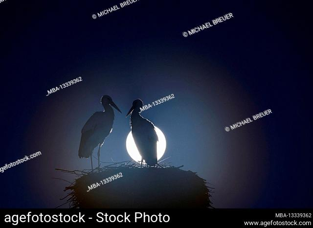 White storks (Ciconia ciconia) on the nest during a full moon, February, Hesse, Germany