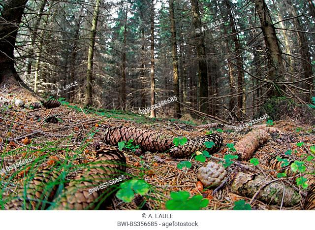 Norway spruce (Picea abies), spruce cones covered forest floor, Germany, Saxony-Anhalt, Harz