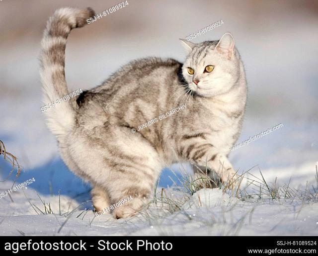 British Shorthair. Tabby adult standing in snow. Germany