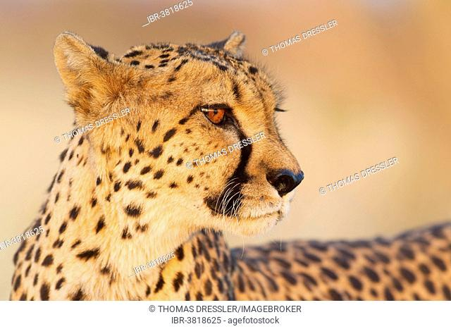 Cheetah (Acinonyx jubatus), female in evening light, captive, Namibia
