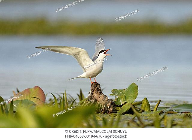 Common Tern (Sterna hirundo) adult, breeding plumage, calling, with wings raised, standing on waterlily rhizome in water, Danube Delta, Tulcea, Romania, May