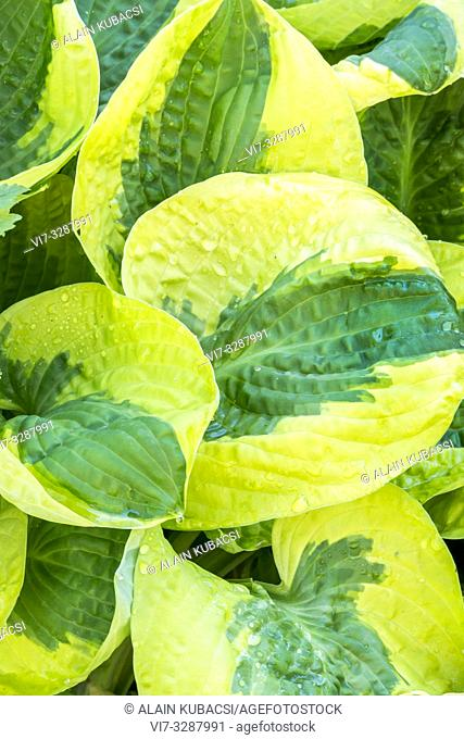Plantain Lily / Hosta 'Brim Cup'