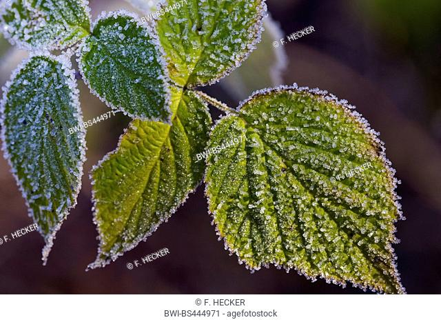shrubby blackberry (Rubus fruticosus agg.), leaves with hoar frost, Germany
