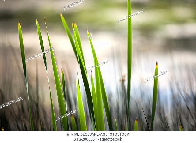 Marsh grass reeds