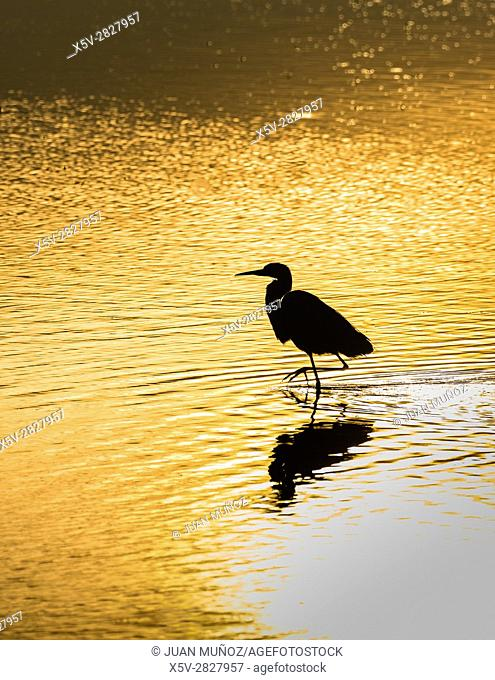 Grey heron at sunrise on the marsh. Doñana Natural Park. Seville. Andalusia. Spain
