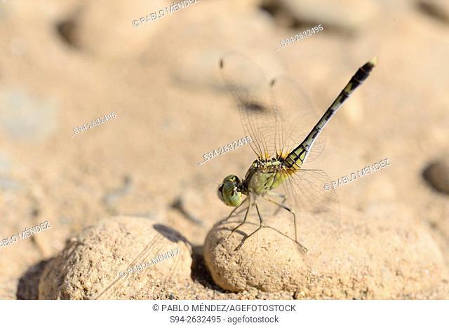 Dragonfly (Odonata) in the bank of Mekong river, Luang Prabang, Laos