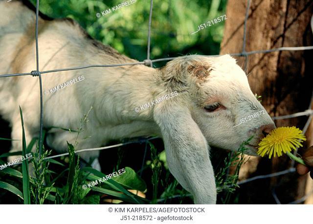 Nubian Goat smelling Dandelion flower through wire fence