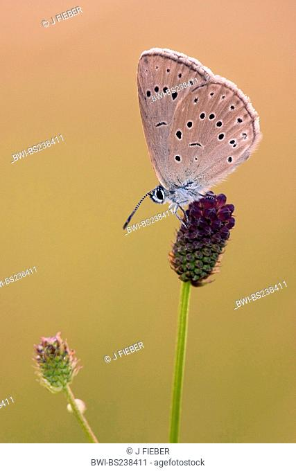 scarce large blue Maculinea telejus, sitting on great burnet, Sanguisorba officinalis, Germany, Rhineland-Palatinate