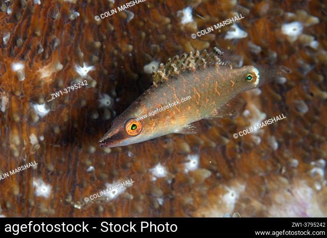 Juvenile Long-nose Maori Wrasse (Cheilinus sp), Makawide Kampung dive site, Lembeh Straits, Sulawesi, Indonesia