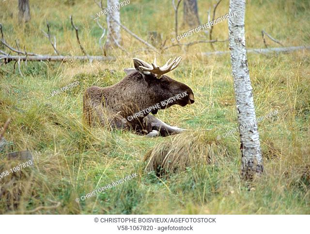 Elk, Sandnessjoen region, Nordland, Norway