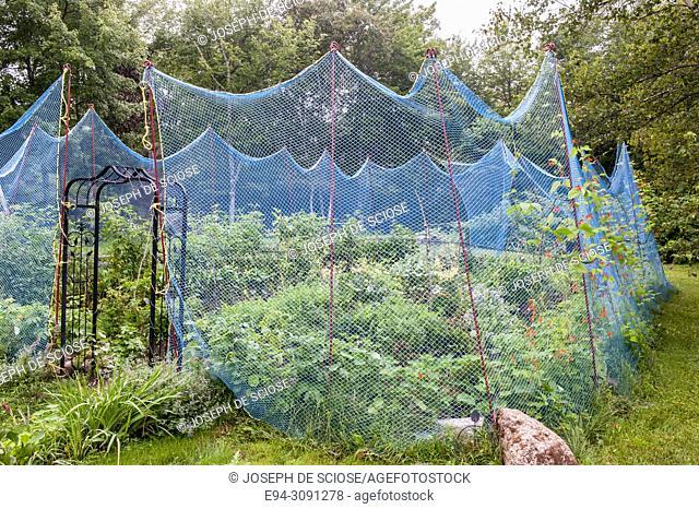 A temporary mesh deer fence surrounding a vegetable garden in the summer, Nova Scotia, Canada