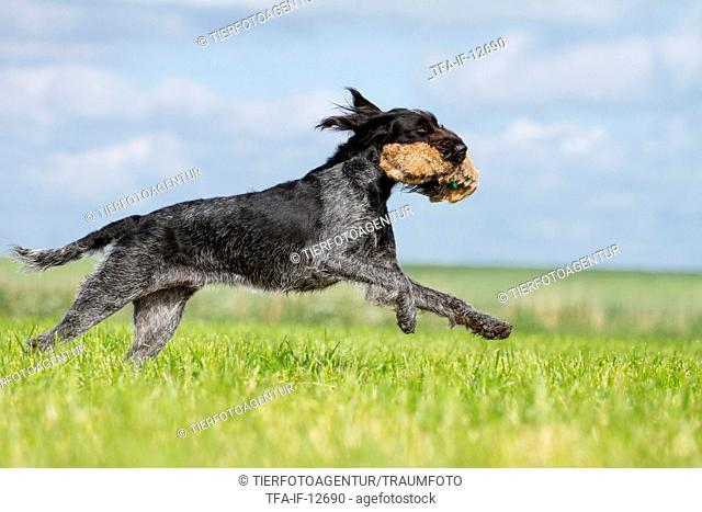 retrieving German wirehaired Pointer