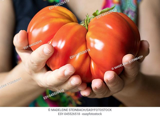 Hands holding and offering a giant Zapotec pleated heirloom tomato