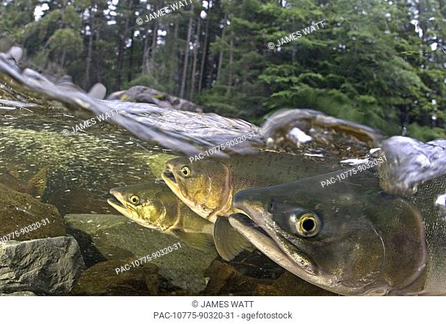Alaska, Sitka, pink salmon oncorhynchus gorbuscha swimming up the Indian river to spawn