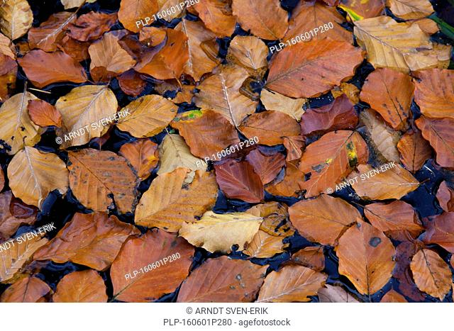Fallen common beech tree leaves (Fagus sylvatica) in brown autumn colours floating in pond