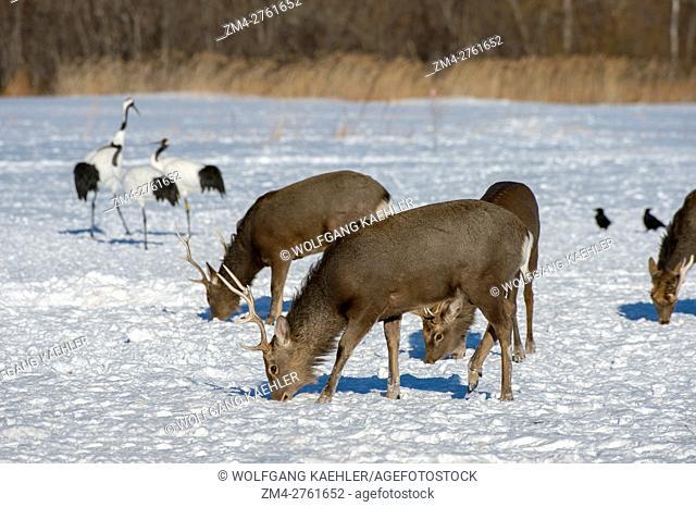 Hokkaido deer (Cervus Nippon yesoensis), a subspecies of the sika deer (Cervus nippon) also known as the spotted deer or the Japanese deer