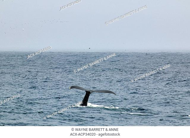 Humpback Whale Megaptera novaeangliae flukes in Witless Bay Ecological Reserve, Newfoundland and Labrador, Canada