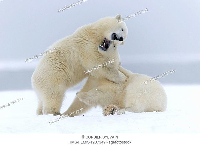 United States, Alaska, Arctic National Wildlife Refuge, Kaktovik, Polar Bear (Ursus maritimus), yearlings playing together