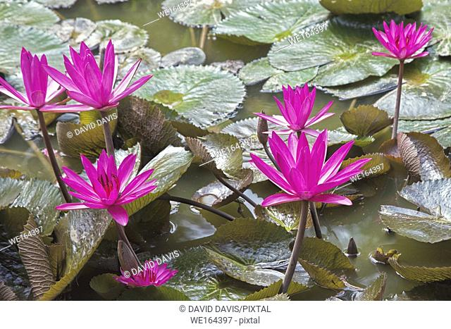 Purple water lilies in a pond in the Mekong Delta in southern Vietnam