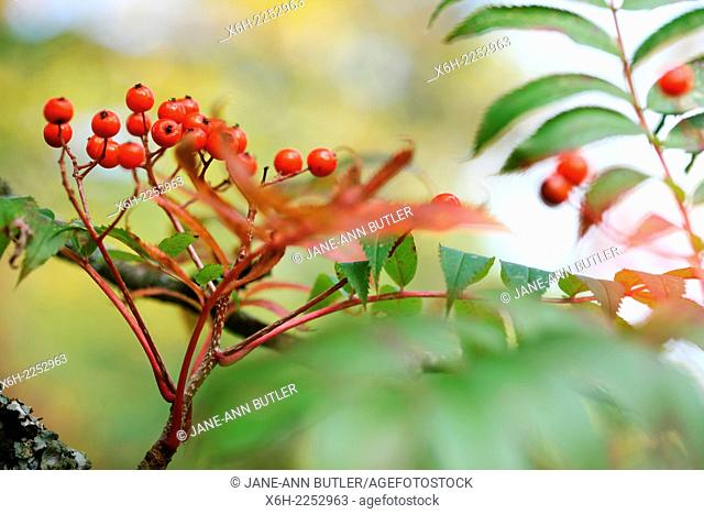orange berries and changing leaf colour, the beautiful regenerating warmth of Autumn