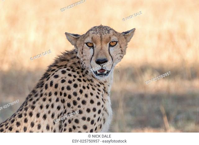 A female cheetah is sitting in the shade of a tree with her mouth open, looking straight at the camera. The shot is a close-up of her head and shoulders