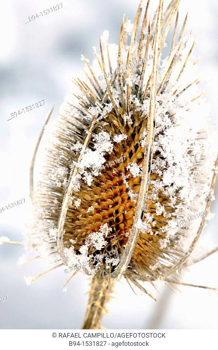 Teasel with snow (Dipsacus sp., fam. Dipsacaceae). Osseja, Languedoc-Roussillon, Pyrenees Orientales, France