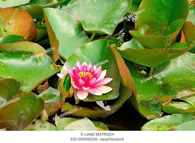 Seerose - water lily 34