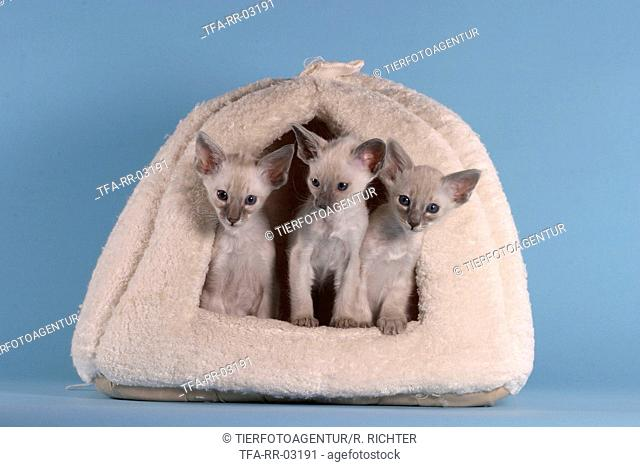 Balinese Kittens In Basket Stock Photos And Images
