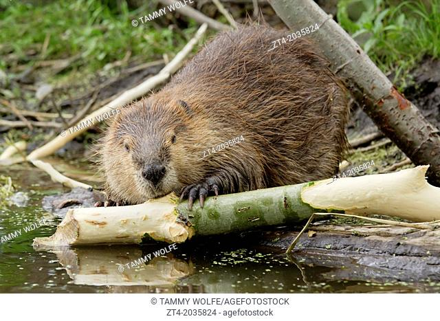 North American Beaver (Castor canadensis), Grand Teton National Park, Wyoming