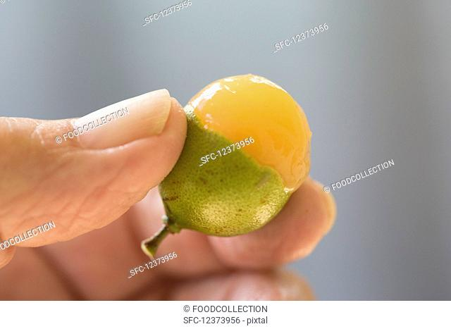 Close up view of a quenepa (also known as Spanish Limes, genip or Kenips) fruit held in fingers