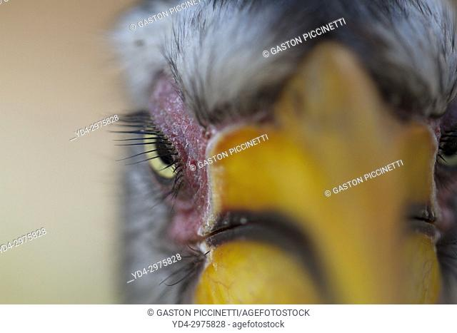 Yellowbilled hornbill (Tockus flavirostris), Mabuasehube, Kgalagadi Transfrontier Park, Kalahari desert, Botswana