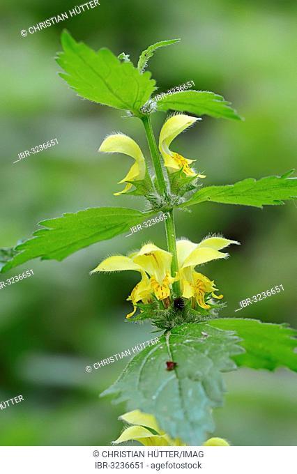 Yellow Archangel, nettle (Lamium galeobdolon), stem with flowers